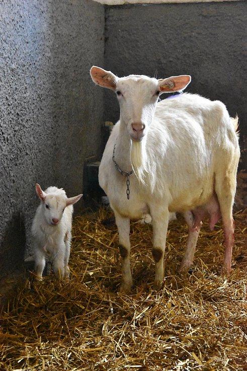 Na farmě DoRa v Ratibořicích chovají české plemeno - bílou krátkosrstou kozu