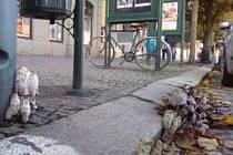 Trsy hub jsou vidět na horní straně Karlova náměstí v Třebíči. Město teď zaplavují různé druhy. I na Nehradově mají ty své, bílé, s pěknými klobouky. Kdo je pozná?