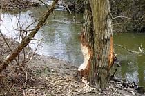 Tyto stopy zanechal bobr na stromě u Rokytné v Jaroměřicích nedaleko koupaliště.