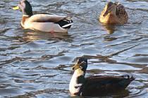 Kačer v popředí je žřejmý produkt křížení pravděpodobně s domácím plemenem kachny vysokohnízdící létavé. Spatřit jej lze na řece Jihlavě v Třebíči.