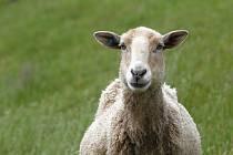 Na skládce v Petrůvkách se pasou ovce.