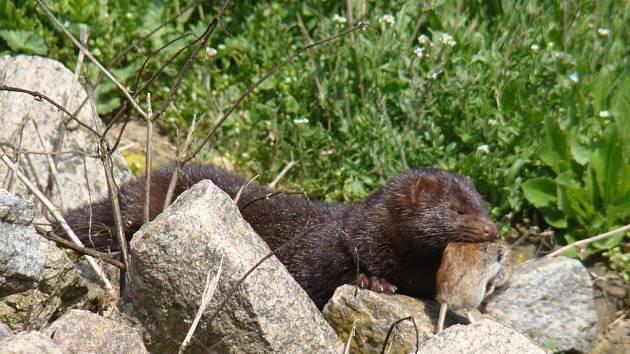 Nejen myši a drobné hraboše loví norek americký například u Dukovan (na snímku). Ve větších stavech dokáže výrazně pohnout s populací ryb a nezastaví se ani před kachňaty nebo raky.