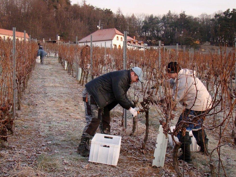 Ledově tvrdé hrozny z podsádeckých vinic sklidili zaměstnanci vinařství a brigádníci v pondělí brzy ráno. Panovalo při tom mínus sedm stupňů Celsia, což je nejvyšší teplota, při které lze hrozny na ledové víno sbírat.
