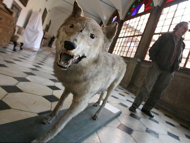 Vycpaninu posledního vlka má ve svém depozitáři Státní zámek Náměšť nad Oslavou.