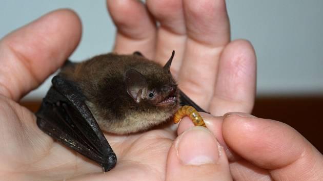 Samička netopýra vodního, která byla nalezena v ambitech kostela sv. Jana Nepomuckého na Zelené hoře, si musela na pár dnů odepřít létající hmyz.