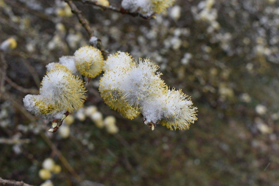 Sněhové vločky se sypaly z nebe. Sníh pokryl i první jarní květy.