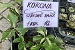 Odrůda jahodníku Korona.