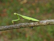 Kudlanky mohou být hnědě i zeleně zbarvené.
