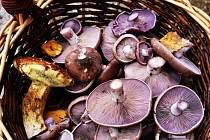 Lesy houbaře pořád zásobují. Prim teď hraje čirůvka fialová.