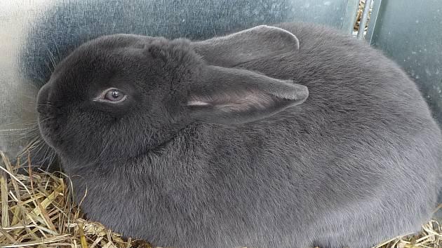 Jenom králíků bude na Výstavě Vysočiny 2018 k vidění 1406.