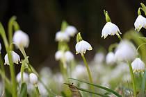 Národní přírodní rezervace Ransko bývá na jaře pokryta bílým kobercem bledulí.