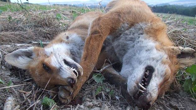Počty lišek, které jsou nakaženy prašivinou a pohybují se ve frekventovaných lokalitách v blízkosti okresního města, stále sledují žďárští myslivci.