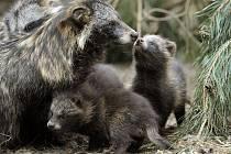 Vedle norka amerického je dalším nepůvodním druhem vyskytujícím se na Žďársku psík mývalovitý neboli mývalovec kuní. V roce 2008 nahlásili myslivci ve žďárském regionu ulovení celkem devíti exemplářů této psovité šelmy.