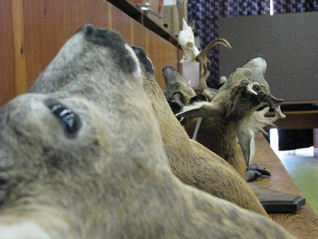 Kolem dvanácti set trofejí lesní zvěře si lidé budou moci prohlédnout ve Žďáře nad Sázavou.