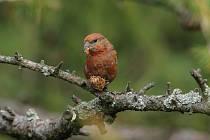 Červený sameček křivky obecné je jen o něco málo větší než vrabec.