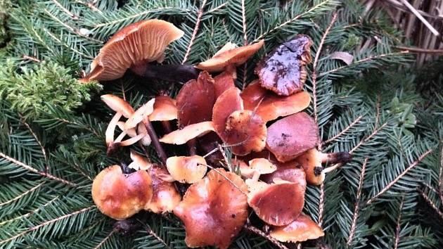 Vánoční houba nalezená v Novém Městě na Moravě.