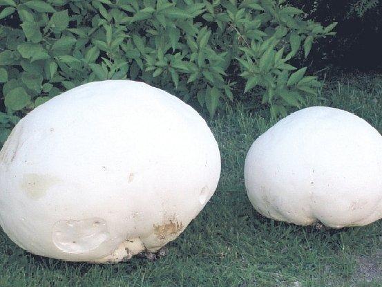 Šok určitě prožíval po šťastném, ale o to větším nálezu pýchavek vášnivý houbař z Třebíčska. Ta větší pýchavka má velikost tří fotbalových míčů.