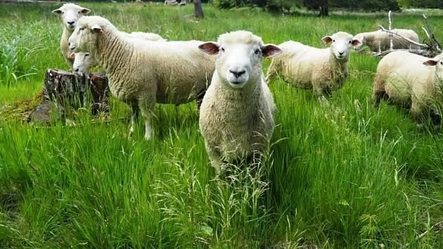 Pětadvacet beránků spásá trávu na louce.