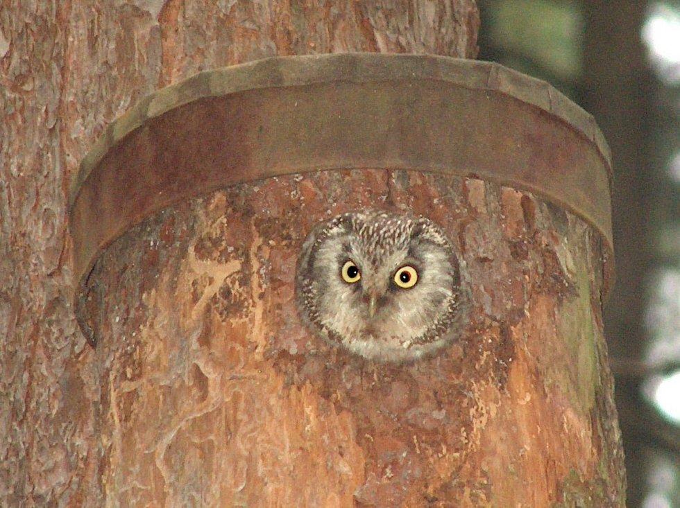 Ptačí budkou na bydlení nepohrdne ani sýc rousný.