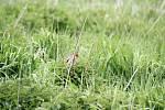 Ornitologové hýly rudé na Rychtářkách pravidelně monitorují. Před pár lety jim připevňovali mezi křídla geolokátory, aby zjistili, kam odlétají.
