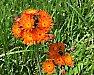 Louky Vysočiny rozzářily oranžově kvetoucí jestřábníky, podívejte se