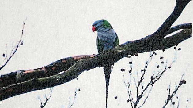 Sameček alexandra čínského byl spatřen a vyfocen na stromě poblíž Pasecké skály.