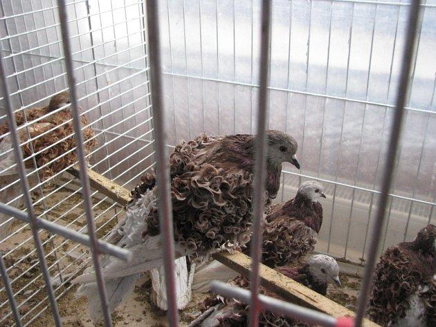 Největší výstava drobného zvířectva na Moravě se koná v Bohdalově na Žďársku.