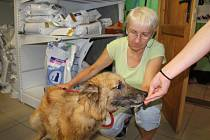 """Zvířata ubytovaná ve žďárském útulku ve Vysocké ulici prožívají podle veterinářky Marie Dobrovolné (na snímku) """"psí život""""."""