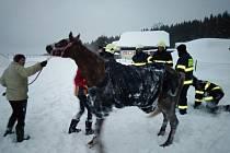 Kůň lehl do závěje a nemohl vstát. Pomohli mu dobrovolní hasiči. Foto: archiv SDH Nové Město na Moravě
