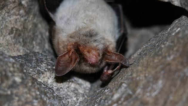 Ochranáři rok co rok navštěvují netopýry na jejich zimovištích.