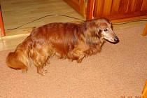 Ztracený pes je podle majitele i přes svůj věk ve velmi dobré kondici.