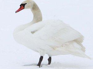 Letky levého křídla labutě jsou pouze holé ostny bez jemných praporů.