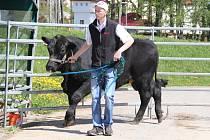 Základní výběr čeká mladé býčky ve stáří čtrnáct až šestnáct měsíců. Ošetřovatelé je na tuto příležitost musí nejprve důkladně připravit, důležité je zejména naučit je nebát se lidí a chodit na ohlávce.