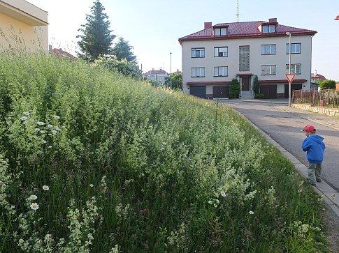 Přirozené luční květeně se daří i na Vysočanech pod tamním obchodem.