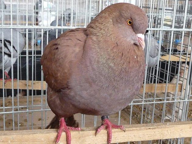 Na letošní Výstavě Vysočiny, která se v Bohdalově uskuteční o víkendu, bude vystaveno celkem 3 400 kusů zvířat ve více jak 350 plemenech a barevných rázech. Z tohoto celkového počtu chovatelé letos přihlásili 960 holubů.