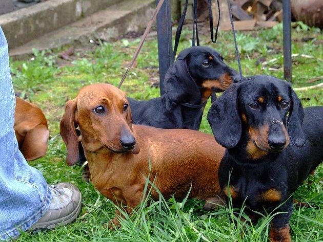 Bezmála stovku loveckých psů přivedli jejich majitelé na každoroční jarní svod, který se v neděli konal v areálu střelnice u obce Světnov na Žďársku.