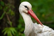 Rozdíl mezi dospělým čápem a mláďaty je patrný na první pohled. Mláďata mají šedý zobák.