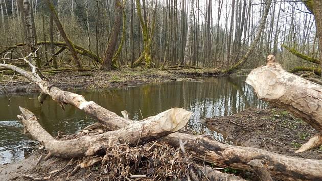 Ochranáři u Konventského rybníka napočítali několik desítek čerstvě okousaných stromů.