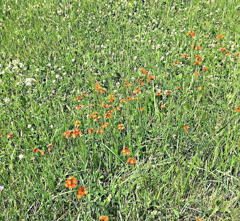 Jestřábníky nebo také chlupáčky oranžové jsou rostliny horských luk a pastvin.