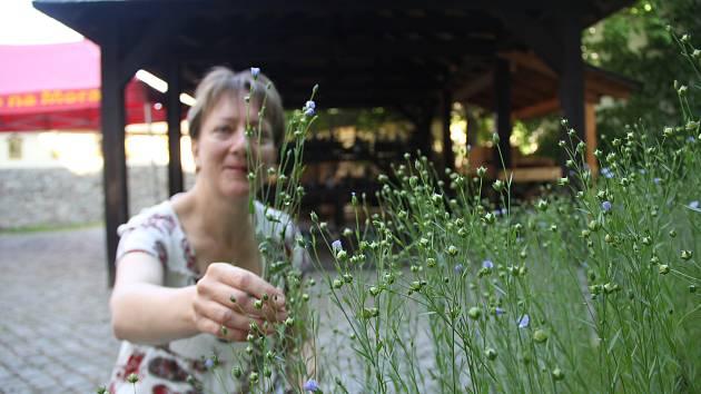 Horácké muzeum bude nabízet semínka rostlin z babiččiny zahrádky