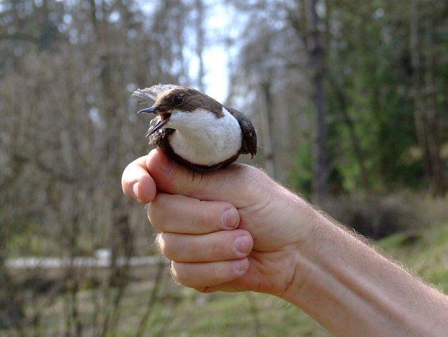 Okroužkovat skorce vodní hnízdící mimo jiné při toku řeky Fryšávky či monitorovat počet těch ptáků, kteří již kroužky mají, se ve čtvrtek vydali žďárští ochranáři.