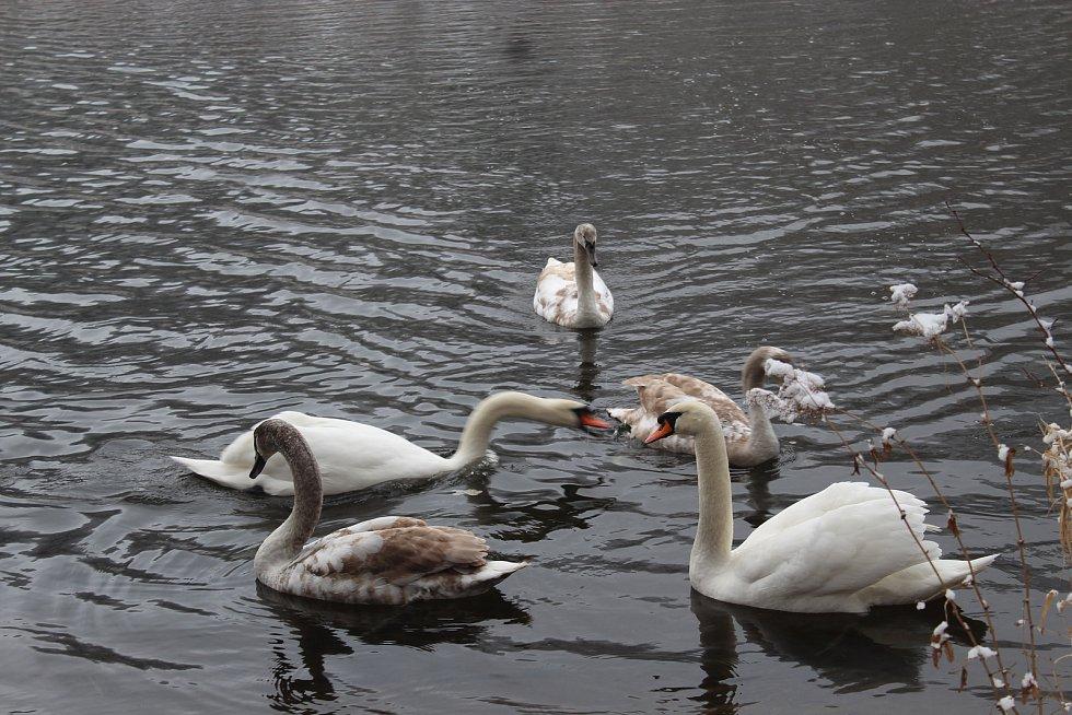 Kvůli ptačí chřipce dnes sčítali ve Štěpánově nad Svratkou domácí drůbež, okrasné ptactvo a jiné opeřence. Do vyhlášeného desetikilometrového ochranného pásma spadá i přečerpávací vodní nádrž ve Víru, kde se po hladině pohybují kachny, labutě a další voln