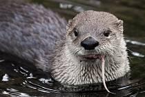 Je zvláště chráněná, škodí hlavně rybářům. Na náhradách škod způsobených vydrami na rybách vyplatil Kraj Vysočina za loňský rok 1,55 milionu korun.