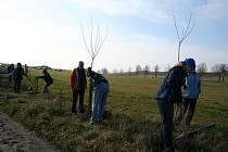 Vysazování stromořadí na Žďársku. Ilustrační foto
