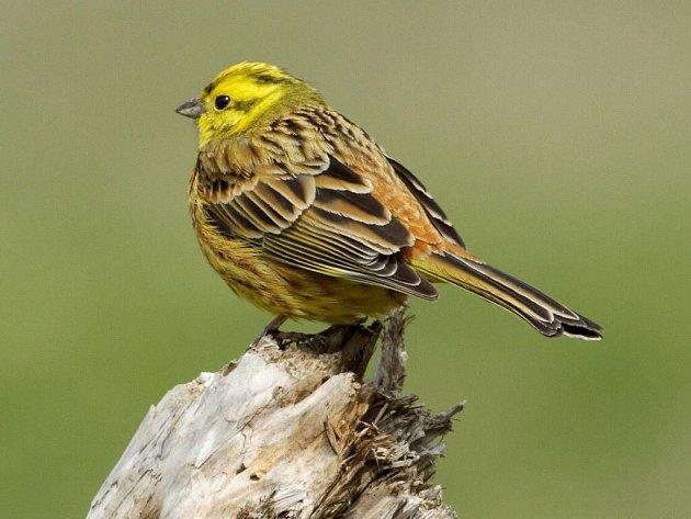 Samec strnada zhruba o velikosti vrabce má citronově zbarvenou hlavu a žlutavou spodinu těla.