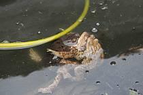 K obojživelníkům, vyskytujícím se u rybníka Koupaliště, patří i ropuchy.