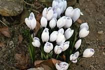 I z vesnických zahrad květiny pomalu mizí.
