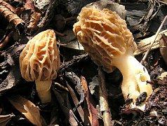 Jednu z nejčasnějších jarních hub lze připravovat na několik způsobů. Kdo pohrdne klasickou smaženicí, může si pochutnat třeba na kloboučcích smržů naplněných masovou směsí.
