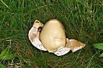 Plodnice hadovky smrduté vypadá jako vejce.