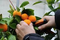 Budete potřebovat i čerstvou pomerančovou kůru.